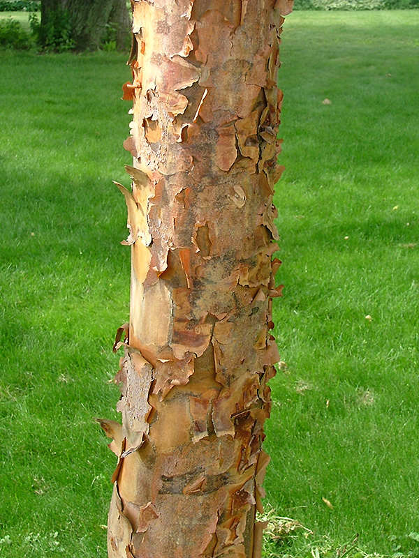 Gingerbread Paperbark Maple Acer Gingerbread Clump