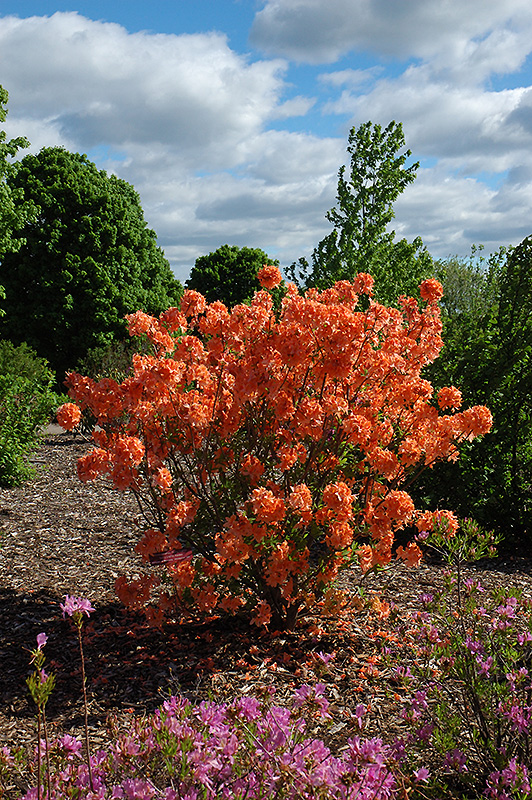 Spicy Lights Azalea Rhododendron Spicy Lights In St