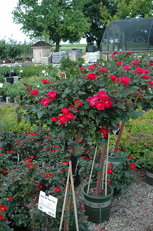 Knock Out Rose Tree Rosa Radrazz At Wasco Nursery