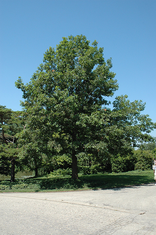 Click to view full size photo of shumard oak quercus shumardii at