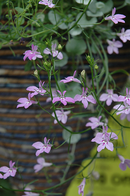 Laguna Heavenly Lilac Lobelia (Lobelia erinus 'Laguna Heavenly Lilac