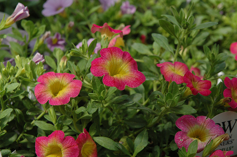 Superbells sweet tart calibrachoa calibrachoa - Calibrachoa superbells ...