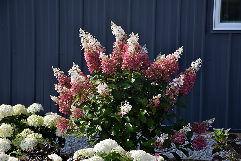 pinky winky hydrangea hydrangea paniculata 39 dvppinky. Black Bedroom Furniture Sets. Home Design Ideas