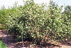 Emerald Triumph Viburnum (Viburnum 'Emerald Triumph') at Wasco Nursery