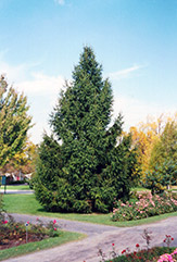 Norway Spruce (Picea abies) at Wasco Nursery