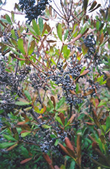 Northern Bayberry (Myrica pensylvanica) at Wasco Nursery