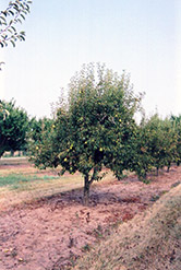 Bartlett Pear (Pyrus communis 'Bartlett') at Wasco Nursery