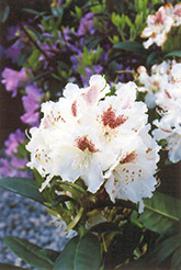 Peter Tigerstedt Rhododendron (Rhododendron 'Peter Tigerstedt') at Wasco Nursery