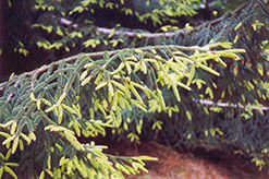 Golden Oriental Spruce (Picea orientalis 'Aurea') at Wasco Nursery