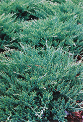 Sargent Juniper (Juniperus chinensis 'var. sargentii') at Wasco Nursery