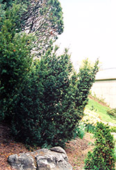 Captain Upright Yew (Taxus cuspidata 'Fastigiata') at Wasco Nursery