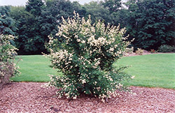 Cheyenne Common Privet (Ligustrum vulgare 'Cheyenne') at Wasco Nursery