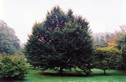 European Hornbeam (Carpinus betulus) at Wasco Nursery