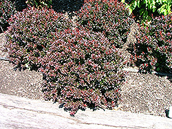 Pygmy Ruby Barberry Berberis Thunbergii Pygruzam In St