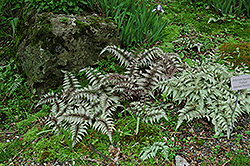 Japanese Painted Fern (Athyrium nipponicum 'Pictum') at Wasco Nursery
