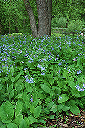 Virginia Bluebells (Mertensia virginica) at Wasco Nursery