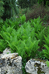 Ostrich Fern (Matteuccia struthiopteris) at Wasco Nursery
