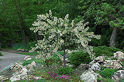 Tina Flowering Crab (Malus sargentii 'Tina') at Wasco Nursery