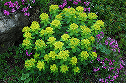 Cushion Spurge (Euphorbia polychroma) at Wasco Nursery