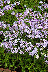 Woodland Phlox (Phlox divaricata) at Wasco Nursery