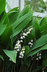Lily-Of-The-Valley (Convallaria majalis) at Wasco Nursery