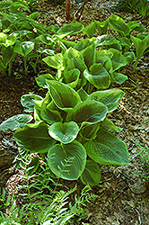 Frances Williams Hosta (Hosta 'Frances Williams') at Wasco Nursery