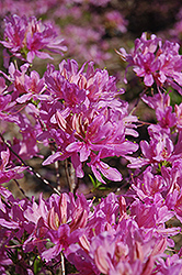 Orchid Lights Azalea (Rhododendron 'Orchid Lights') at Wasco Nursery