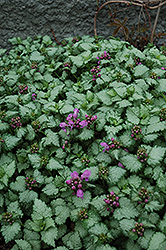 Red Nancy Spotted Dead Nettle (Lamium maculatum 'Red Nancy') at Wasco Nursery