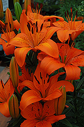 Orange Pixie Lily (Lilium 'Orange Pixie') at Wasco Nursery