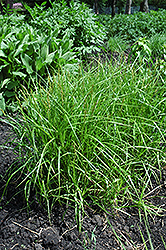 Palm Sedge (Carex muskingumensis) at Wasco Nursery