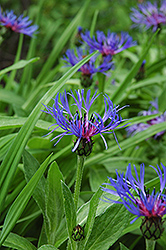 Mountain Bluet (Centaurea montana) at Wasco Nursery