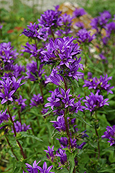Clustered Bellflower (Campanula glomerata) at Wasco Nursery