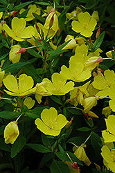 Yellow Sundrops (Oenothera tetragona) at Wasco Nursery