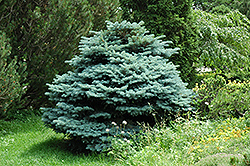 Globe Blue Spruce (Picea pungens 'Globosa') at Wasco Nursery