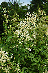 Goatsbeard (Aruncus dioicus) at Wasco Nursery