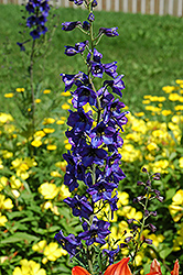 Black Knight Larkspur (Delphinium 'Black Knight') at Wasco Nursery