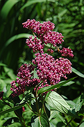 Swamp Milkweed (Asclepias incarnata) at Wasco Nursery
