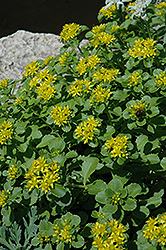 Russian Stonecrop (Sedum kamtschaticum) at Wasco Nursery
