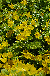 Creeping Jenny (Lysimachia nummularia) at Wasco Nursery