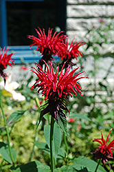 Jacob Cline Beebalm (Monarda 'Jacob Cline') at Wasco Nursery