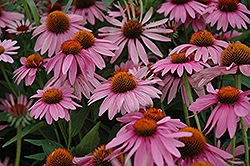 Magnus Coneflower (Echinacea purpurea 'Magnus') at Wasco Nursery