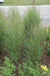 Shenandoah Reed Switch Grass (Panicum virgatum 'Shenandoah') at Wasco Nursery
