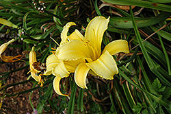 Mary Todd Daylily (Hemerocallis 'Mary Todd') at Wasco Nursery