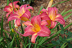Cherry Cheeks Daylily (Hemerocallis 'Cherry Cheeks') at Wasco Nursery