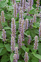 Blue Fortune Anise Hyssop (Agastache 'Blue Fortune') at Wasco Nursery