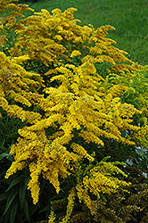 Crown Of Rays Goldenrod (Solidago 'Crown Of Rays') at Wasco Nursery