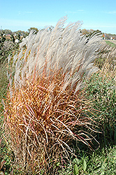 Autumn Red Maiden Grass (Miscanthus sinensis 'Autumn Red') at Wasco Nursery