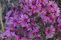 Woods Pink Aster (Aster 'Woods Pink') at Wasco Nursery