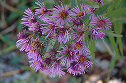 New England Aster (Aster novae-angliae) at Wasco Nursery
