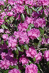 P.J.M. Rhododendron (Rhododendron 'P.J.M.') at Wasco Nursery
